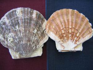 イタヤ貝とホタテ貝